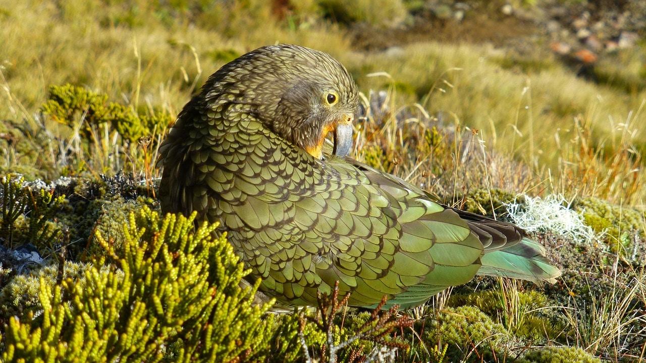 intelligent-birds-species-kea-in-new-zealand