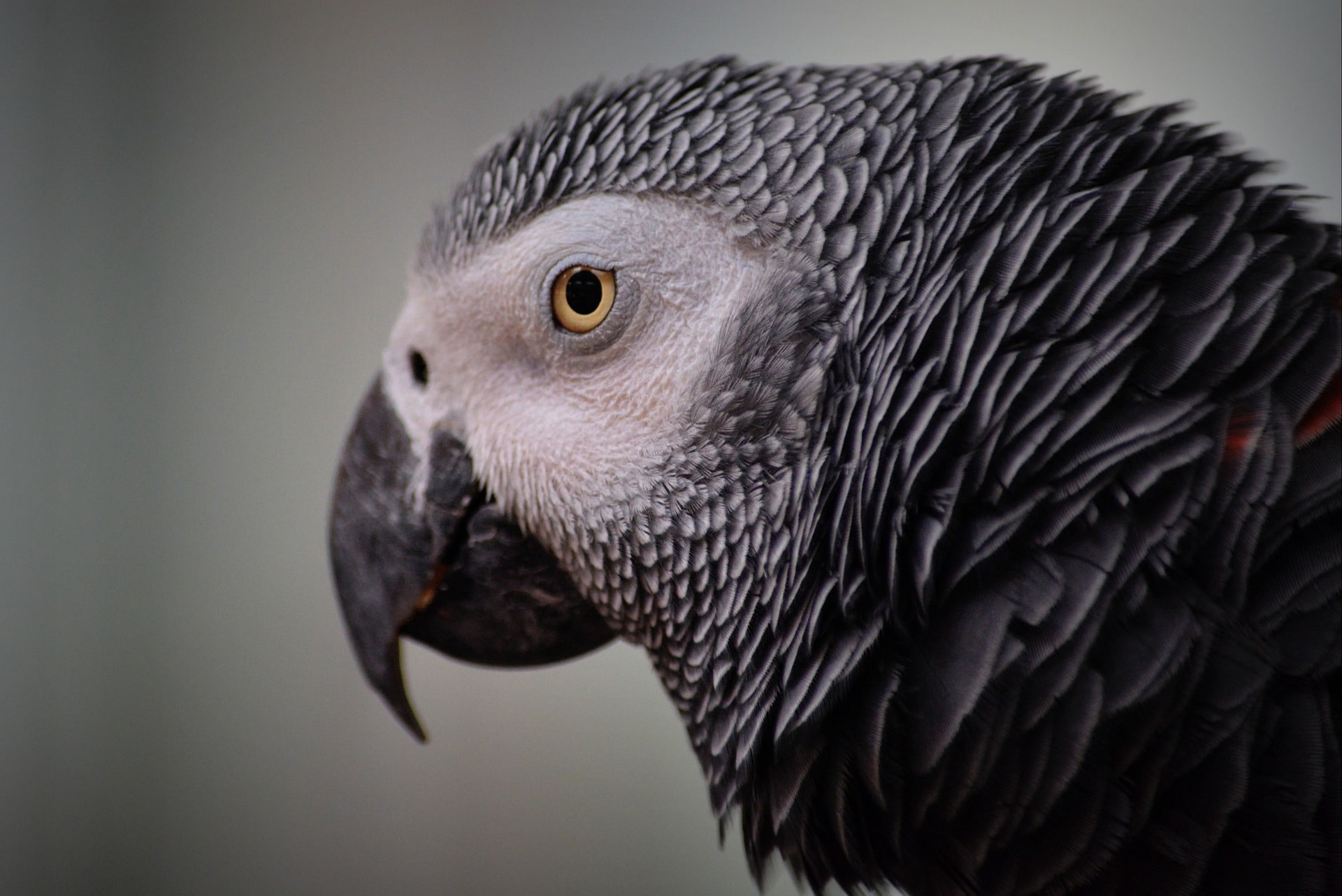 the-smartest-birds-of-the-world-grey-parrot