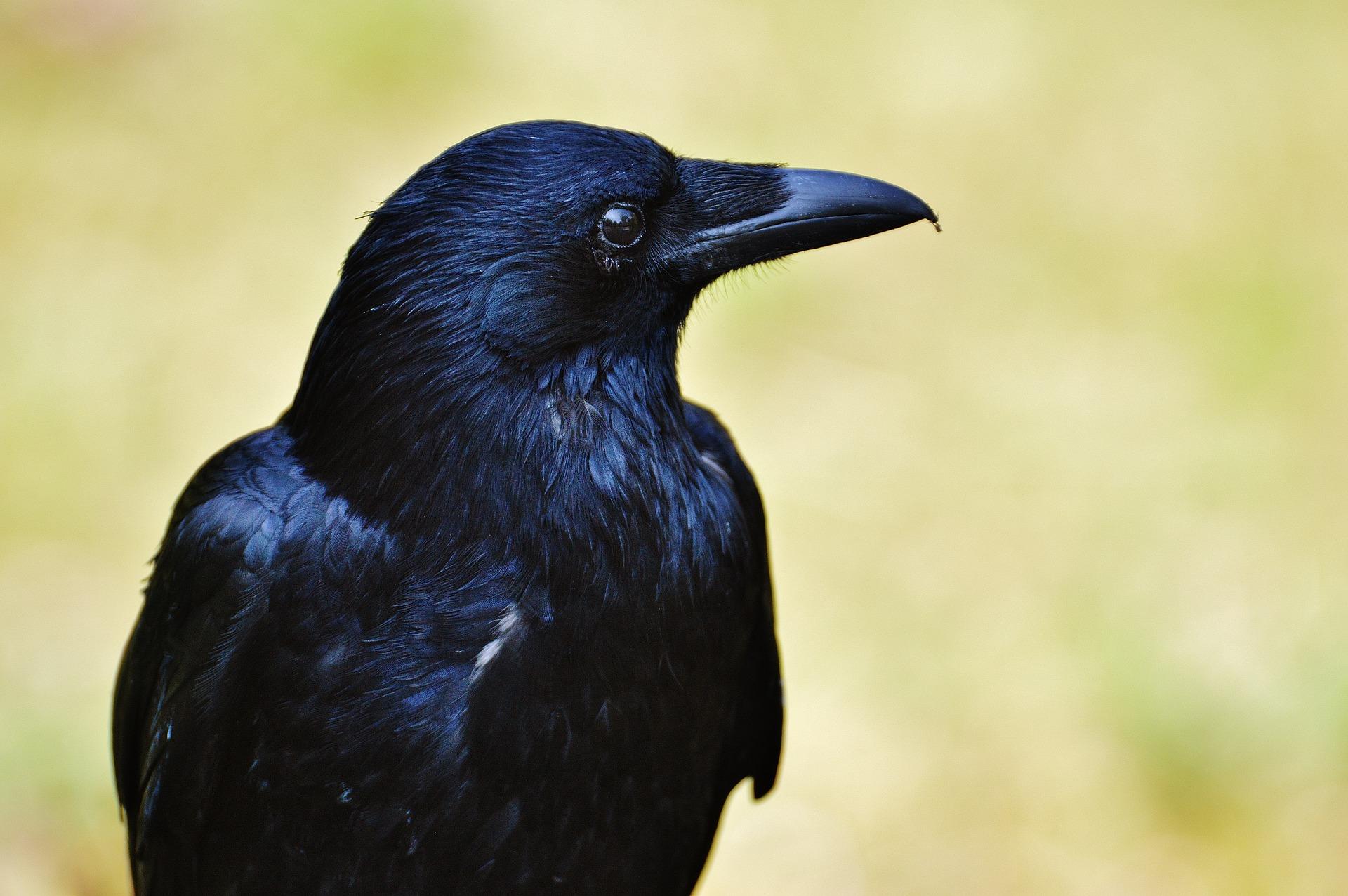 the-smartest-birds-of-the-world-raven intelligence