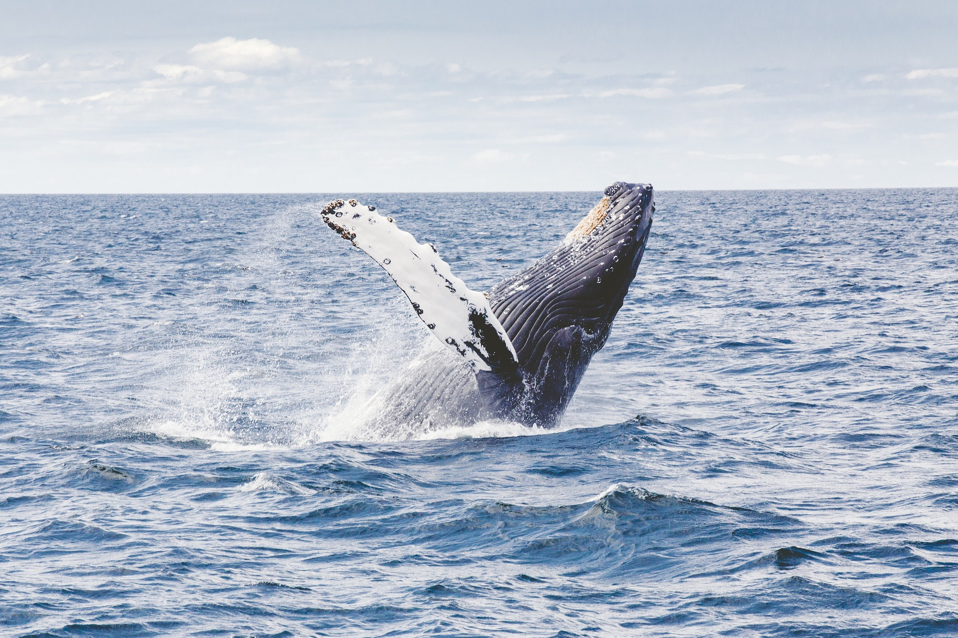 humpback-whale-alignthoughts