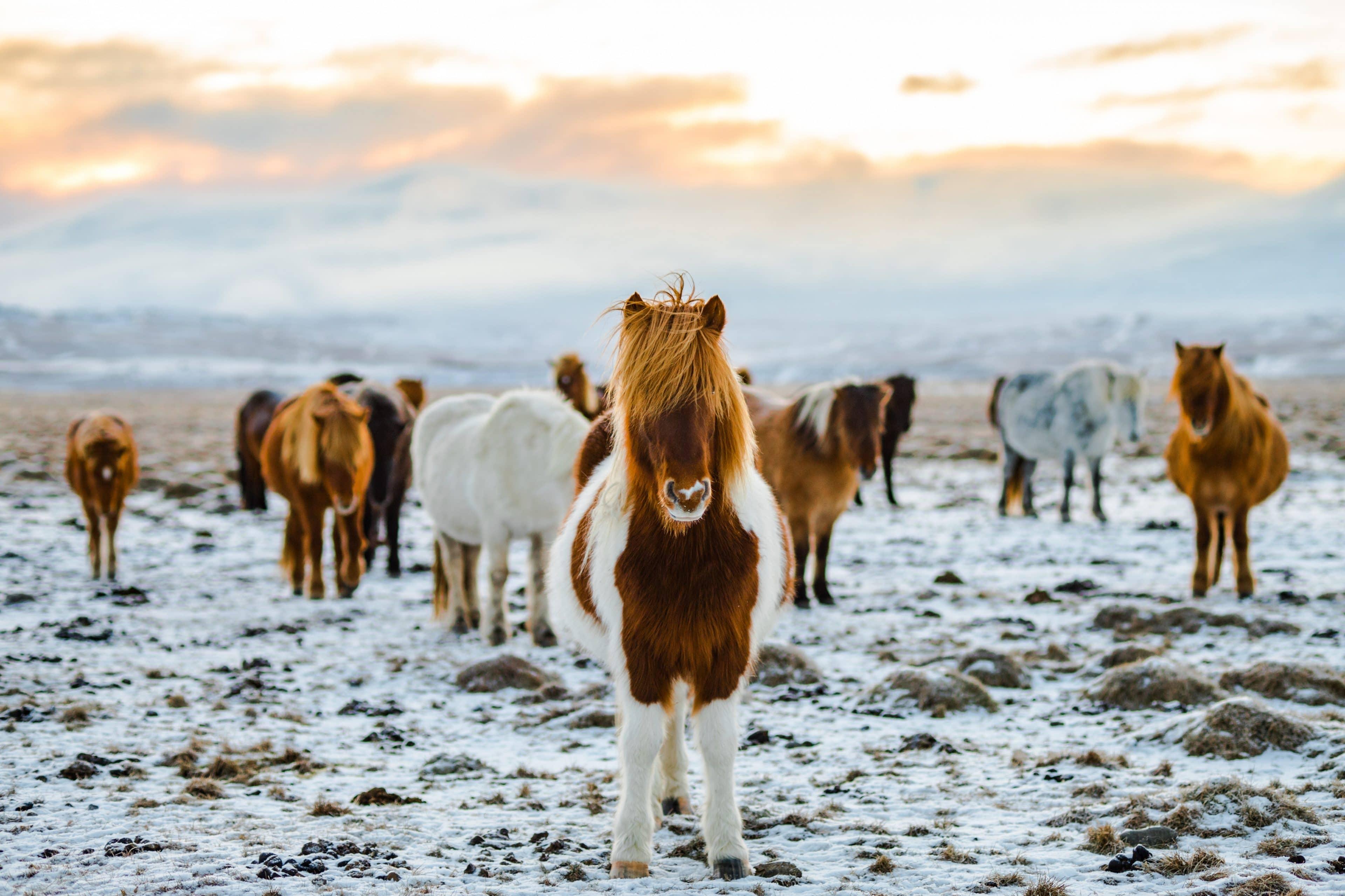 horses-of-Iceland